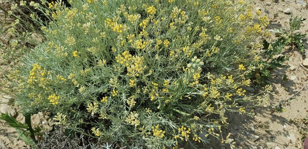 Kleine Geschichte der Pflanzenmedizin: Strohblume, eines der erstaunlichsten Öle der Aromatherapie 1